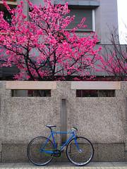 #到哪都踩踏 #櫻 (funkyruru) Tags: flowers trees bike cherry blossom taiwan cycle cherryblossom fixie fixedgear taipei hawkeye pista trackbike 櫻花 樹 sillgey olympusep5 mzuikodigital17mmf18 {vision}:{text}=0566 {vision}:{outdoor}=0916
