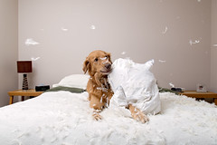 Pillow Fight - 9/52 (wendy74ca) Tags: dog goldenretriever bed mutt flash feathers indoor pillow messy coulee bordercollie mixedbreed 52weeksfordogs creative52