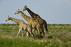 Giraffe Trio (Peter Estment) Tags: tower three desert wildlife giraffe botswana ckgr