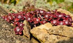 Sedum spathulifolium (AndyorDij) Tags: sedumspathulifolium empingham england rutland uk 2014 flowers gardens bokeh andrewdejardin