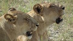 Jao - Botswana - mars 2014 (81) (Valerie Hukalo) Tags: africa cat mammal wildlife lion delta safari bigcat botswana predator jao carnivore okavango afrique mammifre flin fauve faune prdateur lionne faunesauvage wildernesssafari hukalo valriehukalo