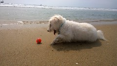Day 3127 of Belle's deep love affair with a ball, any ball (Ms. Jen) Tags: california dog ball balls belle fetch huntingtonbeach dogbeach maltipoo onetruelove bellelecane photobyjeniferhanen nokialumia1020