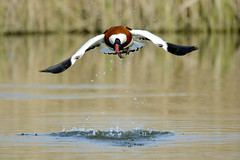 maschio volpoca (d.carradori) Tags: beautiful natura uccelli atmosfera danilo acquatici uccelliacquatici eliteimages fotoclubilbacchino volpoca carradori
