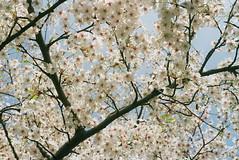 (agalerabranca) Tags: blue brussels white flower tree primavera blanco fleur branco azul cherry spring branch blu bruxelles bleu bloom bruselas brussel bruxelas printemps rama blum cerezo bruksela crise