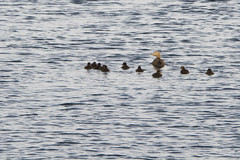 Out for a swim (@lattefarsan) Tags: ocean sea water duck moder fotosondag fs140525
