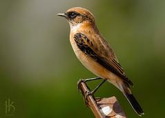 Stonechat (CephaloviA (Hussain Al-Kahtani)) Tags: birds olympus saudi arabia swd hussain    50200     alkahtani