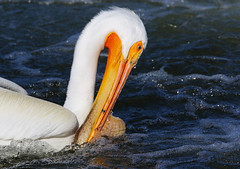 American white pelican _H054795d (Peacefulbirder) Tags: wild white bird nature outdoor pelican rapids american richland bird wild dam horn