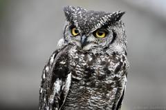 Spotted Eagle-Owl (Bri_J) Tags: tropicalbutterflyhouse northanston sheffield southyorkshire uk yorkshire butterflyhouse nikon d7200 spottedeagleowl bird birdofprey buboafricanus eagleowl owl sigma150600mm