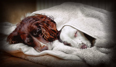 Its a Dogs Life ...... (Missy Jussy) Tags: springerspaniel spaniel englishspringer dog pets animals animalportrait bedtime mollie rupert puppy cute canon canon50mm 50mm canon5dmarkll littledoglaughedstories