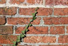 Creep (Jim-Paterson) Tags: brick vine creep nature wall dorset christchurch