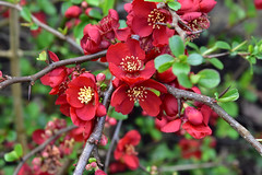 Japanese Quince (John A King) Tags: chaenomeles quince japanese flower