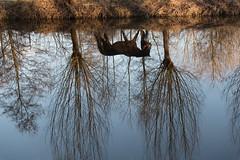 Horse Reflection (Nickz3) Tags: 2017 clingendael denhaag otherkeywords water paard refelction horse the hague upside down