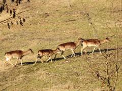 In cammino (ddgp) Tags: daino damadama ungulates fallowdeer gruppo fila flickr nikon love mammifero artiodattilo fauna landscape nature