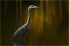 Great Blue Heron (Chris Lue Shing) Tags: olympusep1 sigma70210f28apo bird aurora ontario nokiidaatrail mckenziemarsh nature ©chrislueshing lighting dramatic creative art bokeh animal olympus ep1