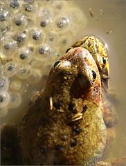 Les grenouilles rousses (berthou.patrick) Tags: les grenouilles rousses