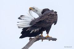 A little Housekeeping (Earl Reinink) Tags: bird animal raptor hawk eagle birdofprey earl reinink earlreinink nature naturephotography birdphotography nikon niagara ontario canada baldeagle preening eitdodtdra