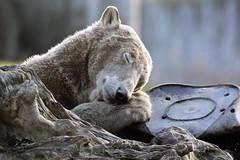 Sweet Dreams (K.Verhulst) Tags: polarbear polarbears ijsberen ijsbeer bears beren blijdorp blijdorpzoo diergaardeblijdorp rotterdam