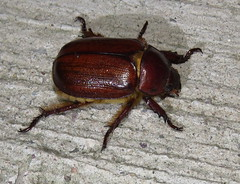 Scarab beetle (Bug Eric) Tags: animals wildlife nature outdoors insects bugs beetles scarabbeetles scarabaeidae coleoptera arizona usa parabyrsopolischihuahuae rutelinae ramseycanyon northamerica july262016