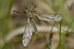 Cranefly Pitstone Fens May 2013 (Lakes4life) Tags: uk lake college nature animal wildlife insects fens cranefly pitstone