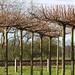 Boompjes met gesnoeide kronen in de kwekerij van Copijn