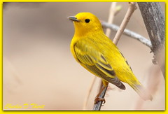 Yellow Warbler (ctofcsco) Tags: usa yellow canon colorado unitedstates explore coloradosprings warbler extender 400mm 14x 50d