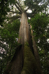Lucuna (Respect yourself ~) Tags: tree peru monster giant de flora rainforest selva madre dios perou tambopata lucuna