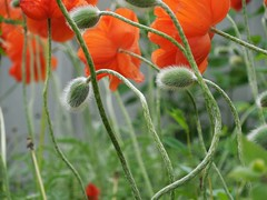 poppies 014 (cellocarrots) Tags: poppies