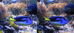3D zoo aquarium dory (3D shoot) Tags: fish bristol zoo aquarium 3d underwater stereo parallel stereoscope 3dshoot
