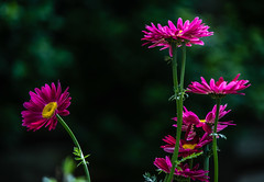 The Sun Is Out (murph le) Tags: flowers shadow sunlight color green yellow daisies bokeh foliage alberta stems fushia