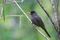 Birds of Sri Lanka , Species No 129 (Sara-D) Tags: black nature birds animals forest rainforest asia wildlife aves sl lanka jungle srilanka ceylon lk srilankan wildanimals southasia bulbul sarad leucocephalus passeriformes blackbulbul hypsipetesleucocephalus serendib pycnonotidae asianwildlife saranga birdsofsrilanka hypsipetes birdsofsouthasia dealwis theimagesofsrilanka hypsipetesleucocephalushumii sarangadeva humii roonakandarainforest roonakanda