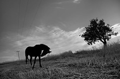 IMGP6272-stavrosstam (stavrosstam) Tags: bw horse tree thelittledoglaughed