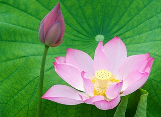 Four shapes of lotus