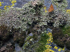 butterfly moss (spinster cardigan) Tags: nature japan wall butterfly japanese moss creativecommons lichen      spinstercardigan