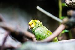 Parrot (Vincent-F-Tsai) Tags: green bird aquarium parrot baltimore microfourthirds olympusmzuiko75mmf18