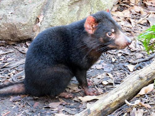Tasmanian Devil - Wild Life Sydney Zoo