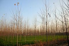 golden hour (gurpreet_singh.) Tags: trees sunset sky india field golden evening nikon warm autum creative hour