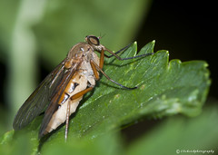Roofvlieg (Christel Schoepen) Tags: macro garden insect tuin d700