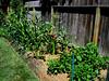 Corn & Peppers (NickRoseSN) Tags: california ca garden corn maize sanmateo sweetcorn backyardgarden sanmateocounty sweetcornbuttergold