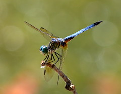 Out On A Limb (Phyllis74) Tags: insect wings dragonfly