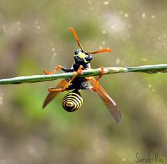 (Sarah-Vie) Tags: macro wasp 0002 dsc guêpe
