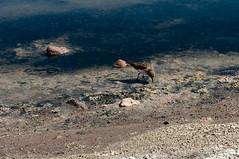 (julianasanc) Tags: chile wild lake southamerica nature beauty landscape nikon desert natureza atacama andes desierto beleza lagoa laguna andino deserto chaxa amricadosul amricalatina d90 atacamenho amricadosul amricalatina