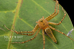 Lynx Spider (Hamadruas sp.) - DSC_6296 (nickybay) Tags: macro spider siemreap lynx oxyopidae hamadruas angkorforest