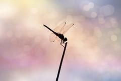 Libelula & Bokeh (Oscar.vng) Tags: naturaleza color colour nature canon contraluz shine bokeh libelula flare silueta flares brillo teleobjetivo abigfave blinkagain oscarvng osanchezphoto