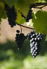 Jost Vineyard - Fall 2013 (Jason Lorette) Tags: canada fall vineyard vines novascotia wine ns harvest grapes jost 2013