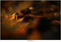 Kunstlicht (5D313752) (nandOOnline) Tags: flash herfst nederland natuur paddenstoel cto helmond bladeren zwam herfstbladeren flitser nbrabant strobist kleurfilter