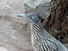 Birthday Bird #1: Greater Roadrunner