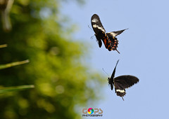 """""""THE CHASE"""" [ EXPLORED 16-NOV-2013 ] (GOPAN G. NAIR [ GOPS Photography ]) Tags: photography fly butterflies chase nair butterflly gops gopan gopsorg gopangnair gopsphotography"""