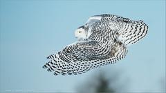 Snowy Owl Lift Off (Raymond J Barlow) Tags: white ngc liftoff npc workshop owl snowyowl birdinflight raymondbarlowphototours