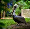 Brown Pelican (Kurayba) Tags: brown bird birds del mexico pentax playa pelican f aviary ha captive carmen roo k5 80200 quintana playacar aviario xamanha xaman pentaxf f4756 smcpf80200mmf4756