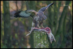 Buzzard (Buteo buteo) ......... Wild not Captive ( Marton Heath ) (Col-Page) Tags: ngc